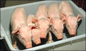cloned pigs